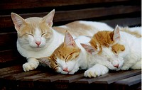 Drei Hauskatzen liegen auf einer Bank und schlafen - Korfu, Griechenland, Europa, 04/11/2006