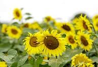 Sunflowers / Sunflower / Yellow. - Walberberg, Germany, 01/08/2008