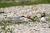 Common Tern (Sterna hirundo) feeding a chick