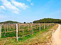 Wine yard in Nakorn Ratchasima, Thailand.