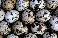 common quail (Coturnix coturnix), eggs, Germany  - GERMANY, 16/05/2006