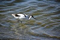 Sõbelschnõbler (Recurvirostra avosetta) im Wasser der Lagune von Walfish Bay - 16/07/2008