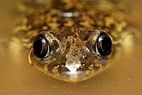 Spadefoot toad (Pelobates cultripes) in a pond of Valdemanco, Madrid, Spain.