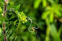 Rambur´s Forktail Damselflies Ischnura ramburii Mating Wheel-of-Life
