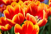 Macro shot of bright colorful bunch of orange tulips - 01/01/2009