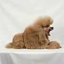 Groomed brown poodle lying on front, yawning, side view