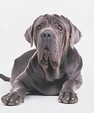 Neapolitan Mastiff, lying down, front view