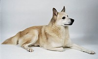 A white Norwegian buhund dog lies on the floor with its right paw tucked under itself, dark eyes shining and its pointed ears pricked up