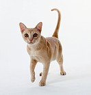 Cream Burmese kitten with strong legs and strong, rounded chest, walking forward.
