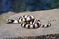 California Kingsnake (Lampropeltis getula californiae), on a stone