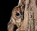 Tawny owl - looks out from hole in tree (Strix aluco)