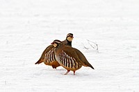 Red-legged Partridge - two in snow (Alectoris rufa)