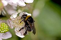 White-tailed Bumble Bee - Gathering pollen and nectar from blackberry blossoms (Rubus fruticosus) (Bombus lucorum)