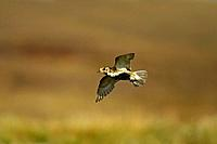 Golden Plover - in flight over moorland (Pluvialis apricaria)