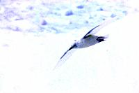 Snow Petrel - in flight (Pagodroma nivea)