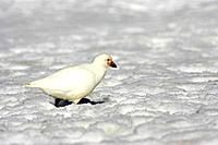Snowy / Yellow-billed / Pale-faced Sheathbill - In Snow (Chionis alba)
