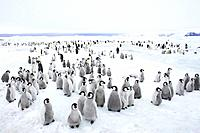Emperor Penguin Breeding Colony (Aptenodytes forsteri)