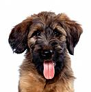 DOG - Briard Puppy, close-up of face
