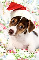 Dog. Jack Russell puppy (8 weeks old) wearing Chriatmas hat