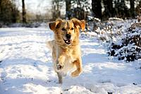 DOG. Golden retriever running through the snow