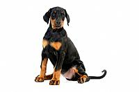 Dog. Dobermann puppy