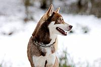 Dog - Husky - standing in snow