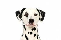 DOG - Dalmatian (head shot)