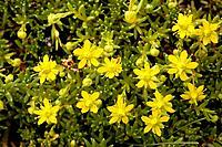 Yellow saxifrage (Saxifraga aizoides)