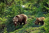 Grizzly Bear - sow with cub, June
