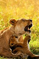 African Lion - Cub playing with mother (Panthera leo)