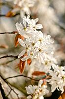 Downy service berry (Amelanchier arborea).