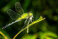 Eastern Pondhawk Dragonfly Erythmis simplicicollis Eating Bluet Damselfly Enallagma civile on Willow Tree Salix caroliniana in Corolla, NC USA