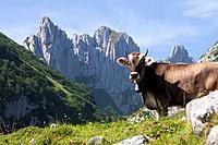 Switzerland, Europe, Alps, mountain, mountains, canton, Appenzell, Innerroden, Alpstein, Säntis, cow, cows, agriculture, Kreuzberge,