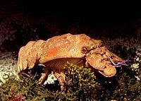 Sea Cicada - Cigale de Mer