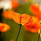 Papaveraceae flowers or ´poppy´´ flowers are backlit in Pasadena, California.1015