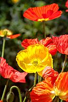 Papaveraceae flowers or ´poppy´´ flowers are backlit in Pasadena, California.	1015