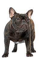 Dog - French Bulldog in studio