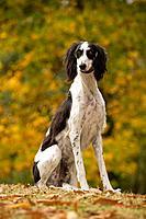 Dog - Saluki