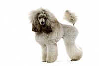 Dog - Poodle - Miniature / Dwarf