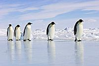 Emperor Penguin - adults walking across ice (Aptenodytes forsteri)