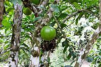 Calabash Tree - & fruit (Crescentia cujete)