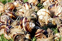Snails - 'Escargot Turc' (Turkish snail) - edible (Helix lucorum lucorum)