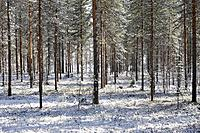 Finland - pine forest
