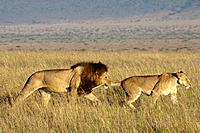 Male lion grabs a lioness (panthera leo) by the tail, Masai Mara, Kenya, East Africa.