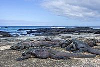 Marine Iguanas (Amblyrhynchus cristatus), San Salvador Island, Galápagos Islands, Ecuador