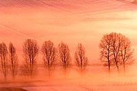 Lombardy Poplar - early morning glow over snow covered fields, with line of trees (Populus nigra 'Italica')
