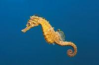 Short-snouted seahorse (Hippocampus hippocampus) Black sea, Crimea, Ukraine, Eastern Europe.