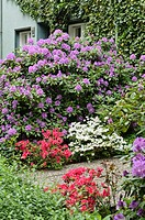Rhododendrons Rhododendron