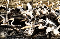 Close up side view, high contrast, of group of African pelicans at lake shore edge in background, Lake Nakuru, Kenya
