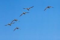 Northern Gannets, flight, wing, Gannet, Great Britain, Europe, sky, coast, sea, Morus bassanus, gawk, bird, blue, fly, flight